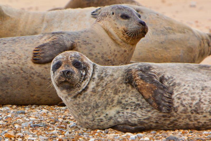 Guarnizioni comuni sulla spiaggia fotografie stock
