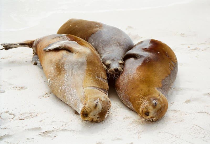 Guarnizioni del Galapagos che stringono a sé immagini stock libere da diritti