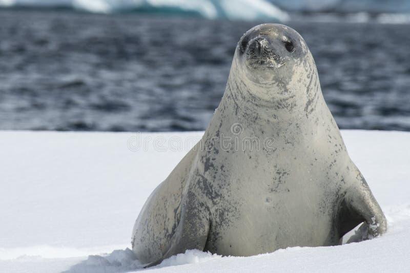 Guarnizioni di Crabeater sul ghiaccio immagini stock libere da diritti