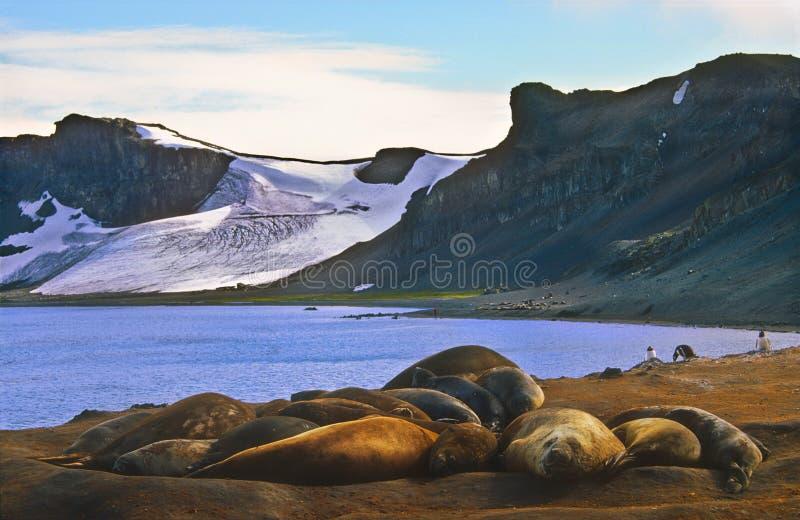 Guarnizioni di elefante, Antartide fotografia stock