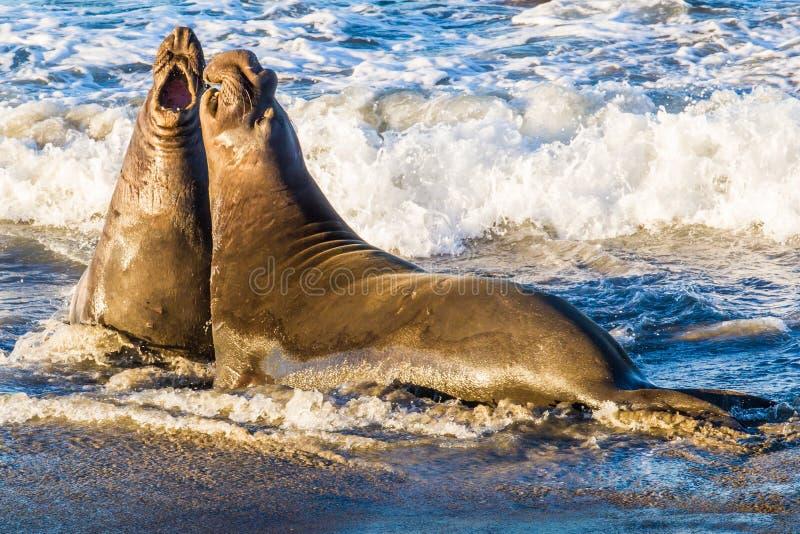 Guarnizioni di elefante nordiche fotografia stock libera da diritti