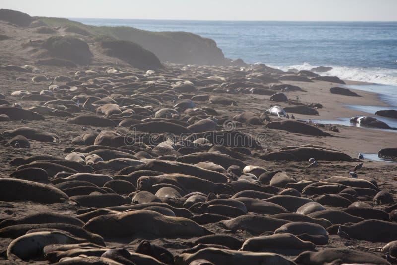 Guarnizioni di elefante su una spiaggia immagini stock libere da diritti