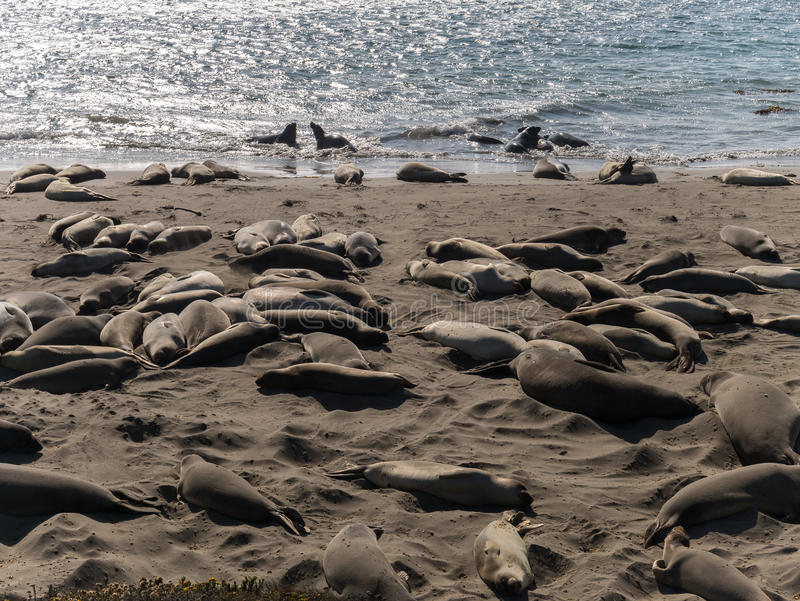 Guarnizioni di elefante sulla spiaggia fotografia stock libera da diritti