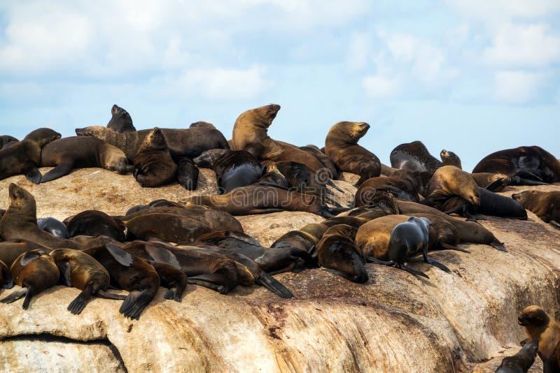 Guarnizioni di pelliccia all'isola della guarnizione, baia di Hout, Sudafrica fotografie stock