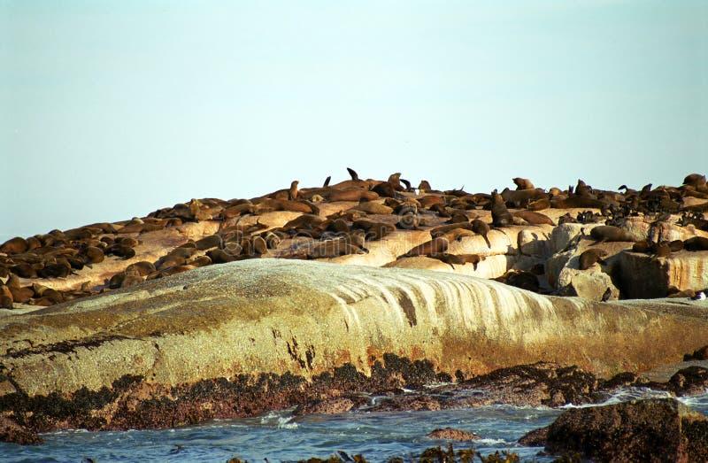Guarnizioni di pelliccia di Brown, isola del Duiker, Repubblica sudafricana fotografie stock