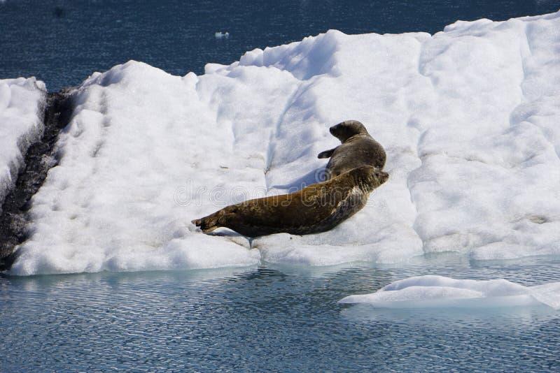 Guarnizioni nell'Alaska fotografia stock
