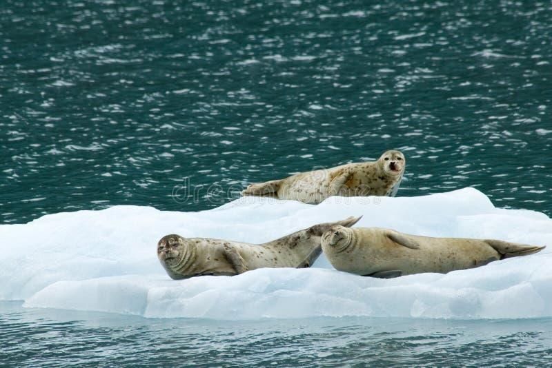 Guarnizioni su ghiaccio fotografia stock