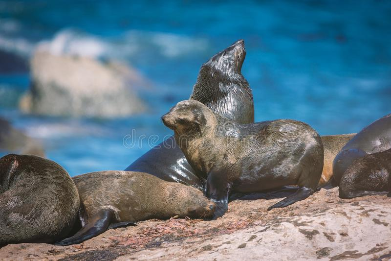 Guarnizioni su un'isola della guarnizione della baia di Hout a Cape Town immagine stock
