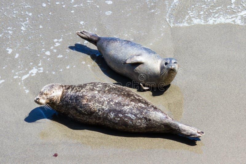 Guarnizioni sulla spiaggia fotografia stock