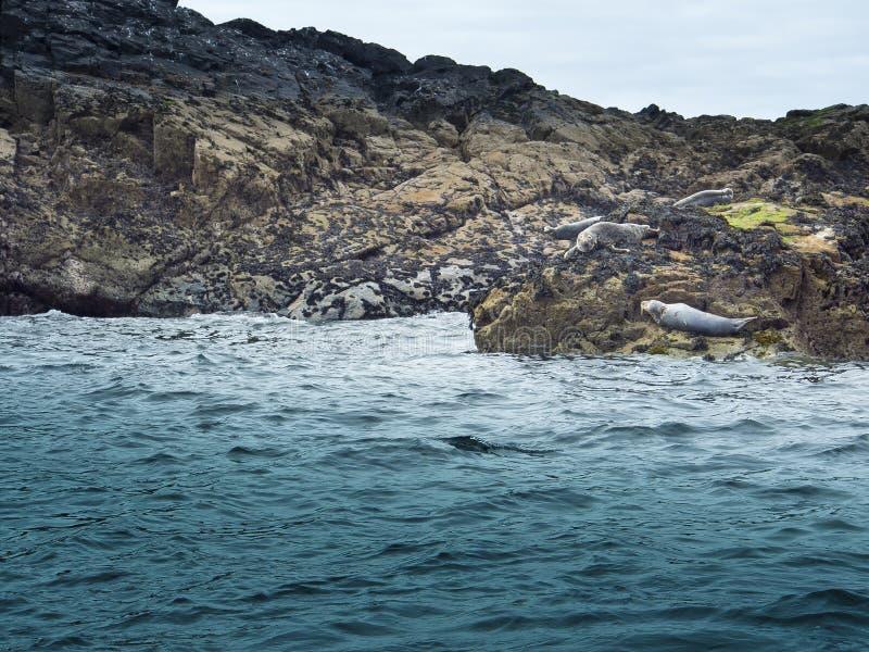 Guarnizioni sulle rocce fotografia stock