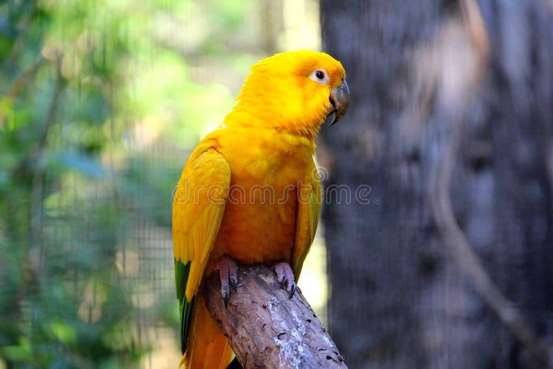 Guaruba guarouba -黄色巴西鹦鹉 免版税库存图片