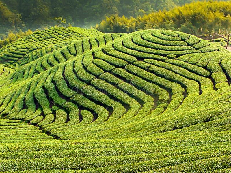 guataiwan för ba trädgårds- tea royaltyfri foto