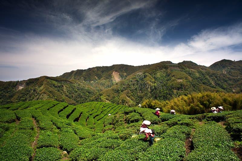guataiwan för ba trädgårds- tea arkivfoto
