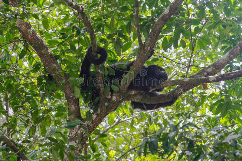 Wildlife: Black Howler Monkeys sleep and eat in trees most of their time. The Guatemalan black howler or Yucatán black howler, Alouatta pigra is a species of royalty free stock photography