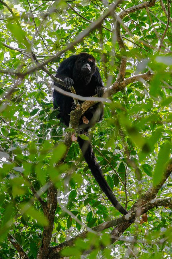 Wildlife: Black Howler Monkeys sleep and eat in trees most of their time. The Guatemalan black howler or Yucatán black howler, Alouatta pigra is a species of stock photography