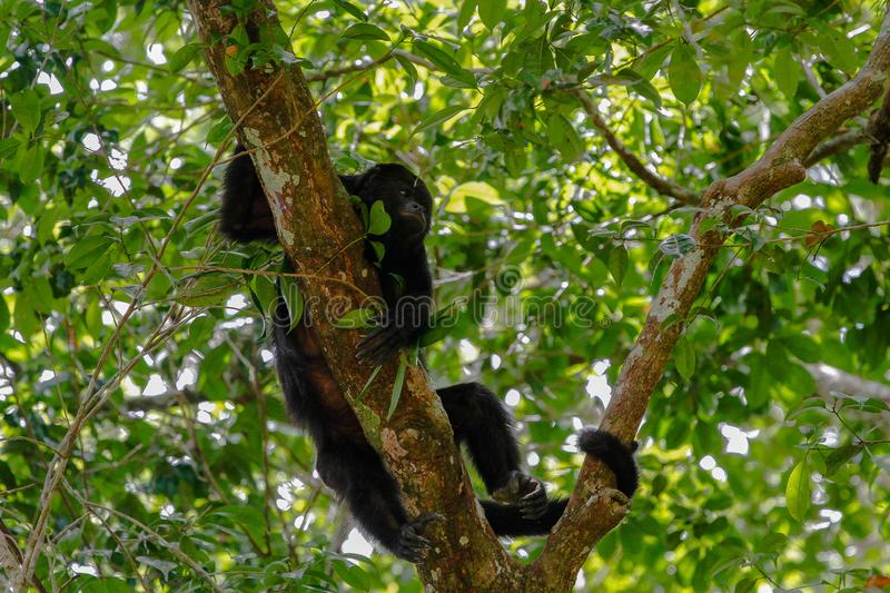 Wildlife: Black Howler Monkeys sleep and eat in trees most of their time. The Guatemalan black howler or Yucatán black howler, Alouatta pigra is a species of stock image