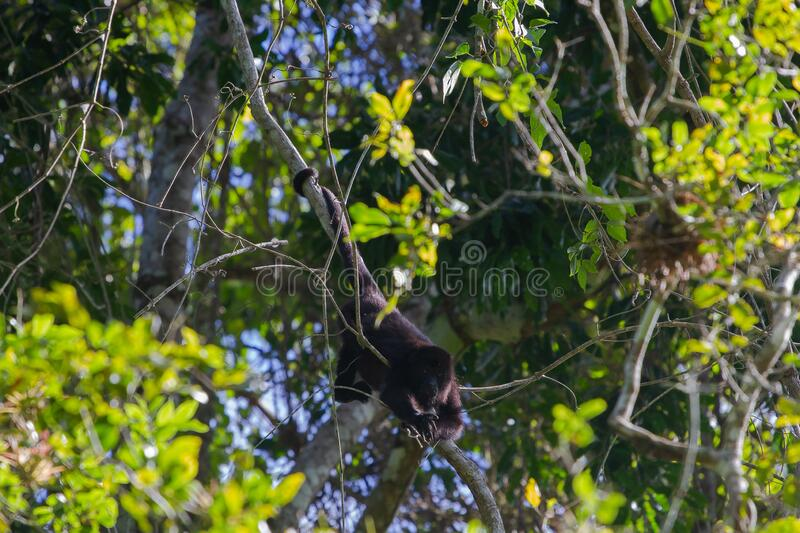 Wildlife: Spider Monkeys are small in size but very territorial. The Guatemalan black howler or Yucatán black howler, Alouatta pigra is a species of howler royalty free stock image