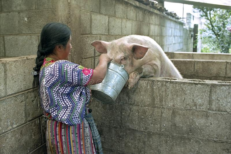 Guatemalan Indian woman feeds pig with leftovers. Guatemala, department of Quetzaltenango, Cantel village: This Maya, Latino, woman in colorful costume is royalty free stock photos