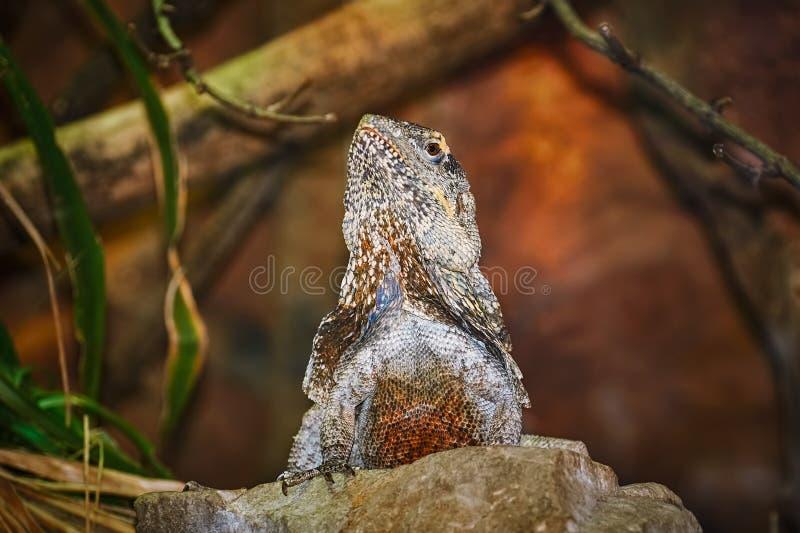 Guatemalan Taggig-tailed leguan arkivbild