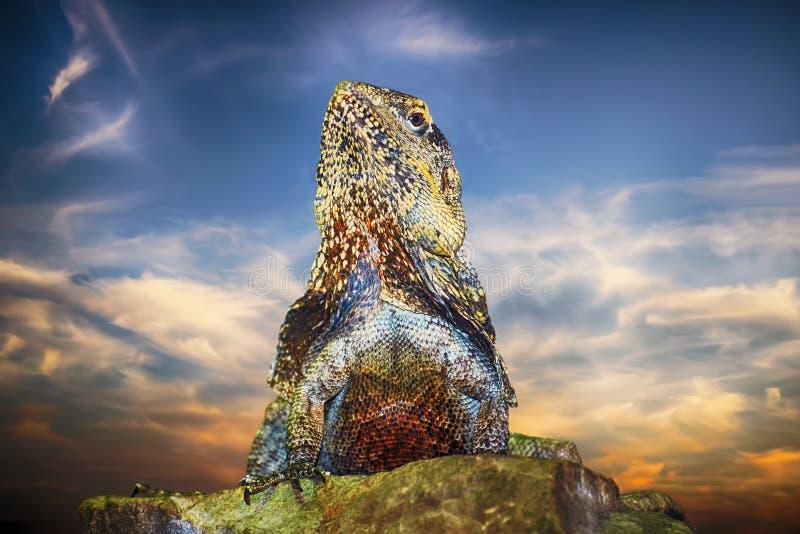 Guatemalan Taggig-tailed leguan royaltyfri foto