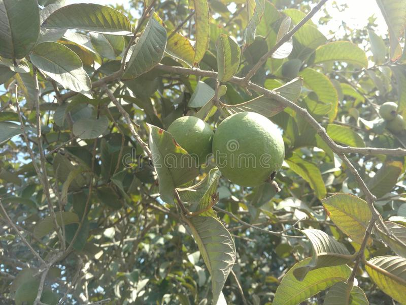 Guava/оливка стоковые изображения