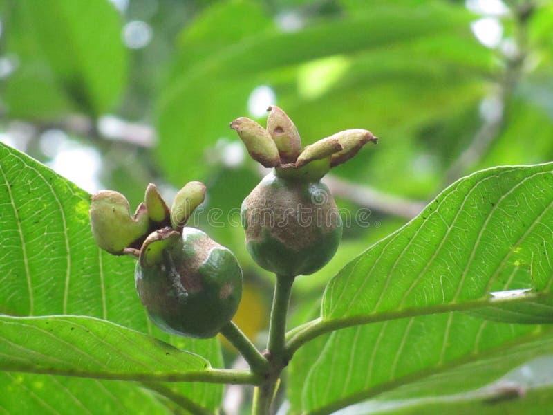 Guava стоковая фотография
