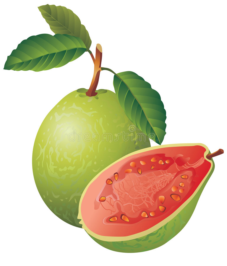 Guava vector illustration
