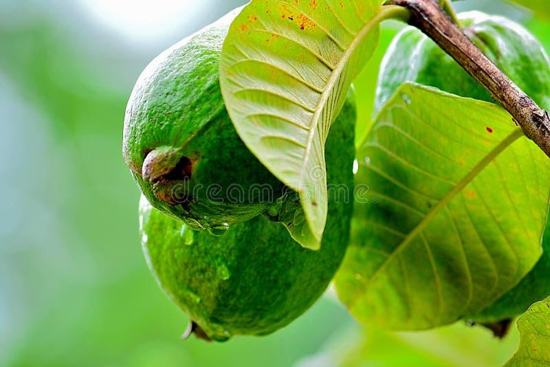Guava стоковые изображения rf