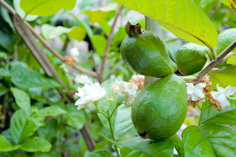 Guava fotografia royalty free