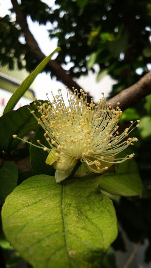 Guava flower stock photo