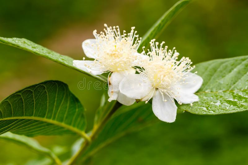 Guava flower in full bloom. Close up of guava flower in full bloom royalty free stock image