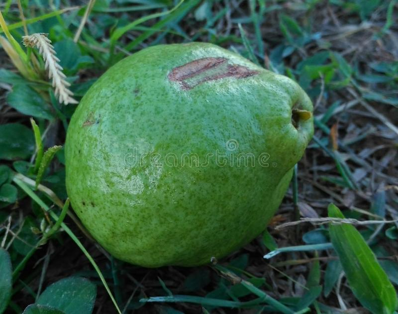 Guava with front of one face royalty free stock image