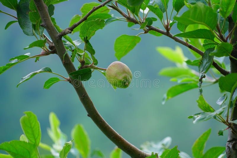 Guava Fruits stock image