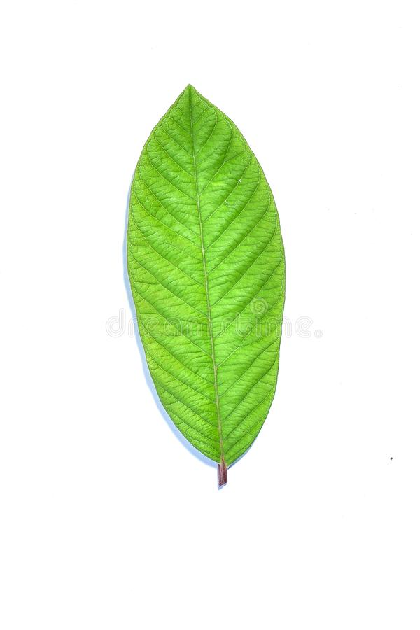 Guava leaf, the tropical evergreen vine isolated on white background, clipping path includedLarge heart shaped green l. Guava leaf, the tropical evergreen vine royalty free stock photos