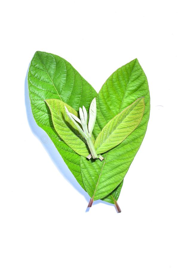 Guava leaf, the tropical evergreen vine isolated on white background, clipping path includedLarge heart shaped green l. Guava leaf, the tropical evergreen vine royalty free stock image