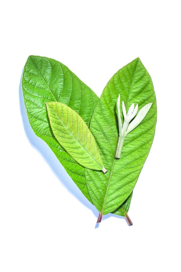Guava leaf, the tropical evergreen vine isolated on white background, clipping path includedLarge heart shaped green l. Guava leaf, the tropical evergreen vine stock image