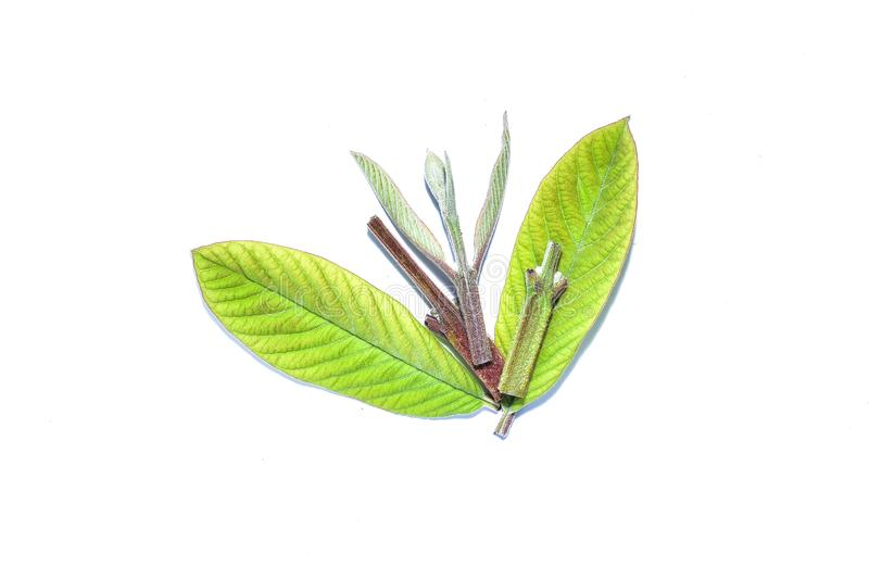 Guava leaf, the tropical evergreen vine isolated on white background, clipping path includedLarge heart shaped green l. Guava leaf, the tropical evergreen vine stock photography