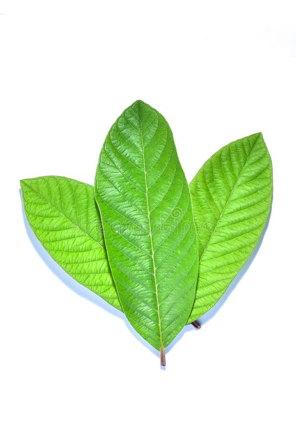 Guava leaf, the tropical evergreen vine isolated on white background, clipping path includedLarge heart shaped green l. Guava leaf, the tropical evergreen vine royalty free stock photo