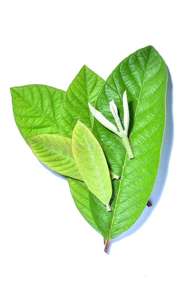 Guava leaf, the tropical evergreen vine isolated on white background, clipping path includedLarge heart shaped green l. Guava leaf, the tropical evergreen vine royalty free stock photography