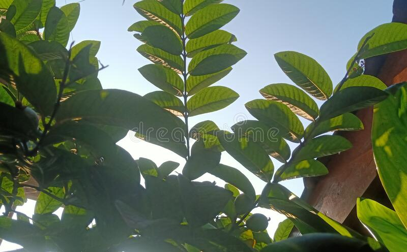 The guava leafs of the  reflection lighting sunrise background stock photos