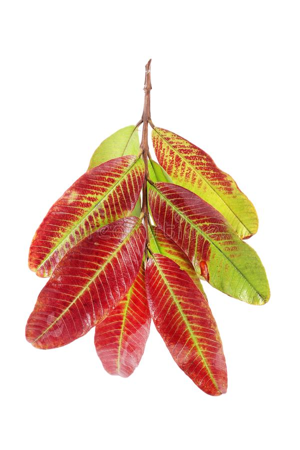 Guava leaves stock images