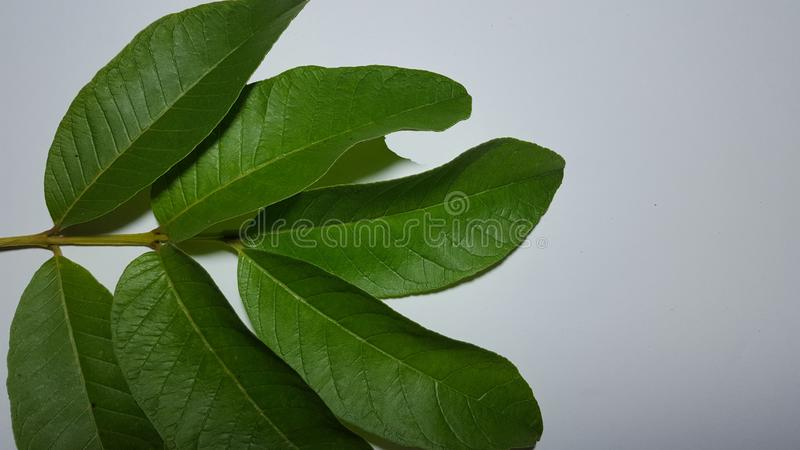 Guava leaves, one of the plants that is easily planted in the yard. As an alternative fruit to treat stomach pain stock image