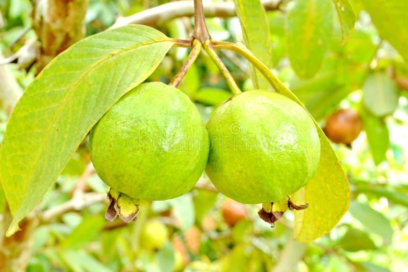 Guava owoc (Psidium guajava) fotografia stock