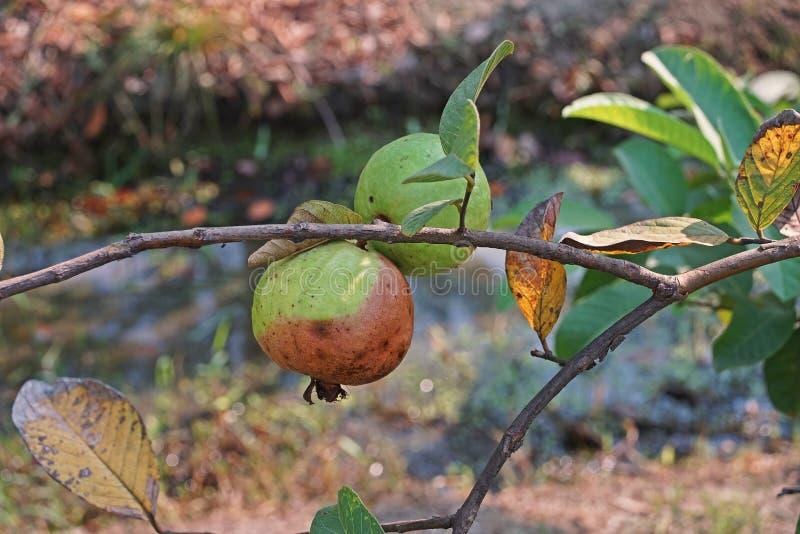 Guava owoc spróchniałość od owocowej komarnicy infestation zdjęcie royalty free