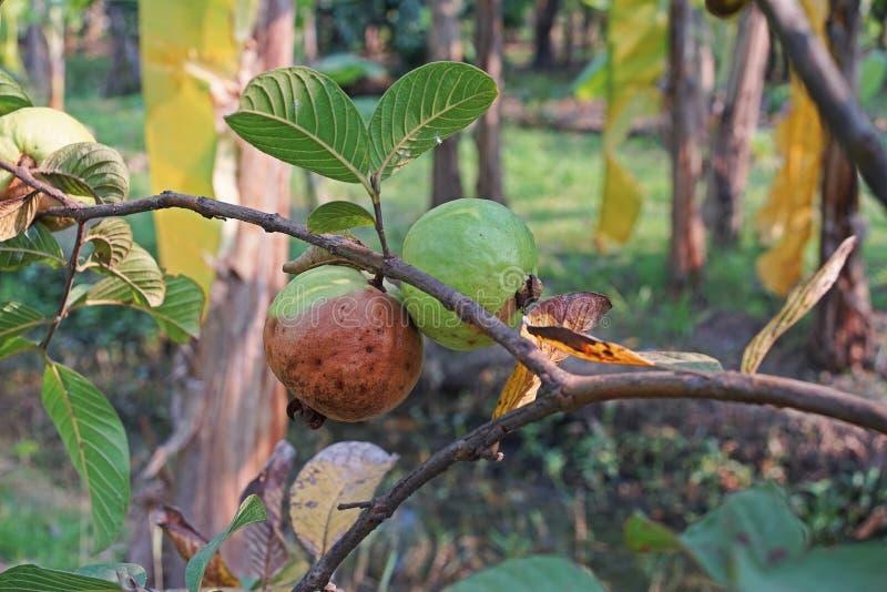 Guava owoc spróchniałość od owocowej komarnicy infestation obraz stock