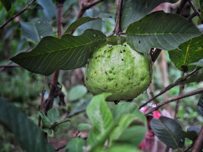 Guava på den gröna naturen royaltyfri foto