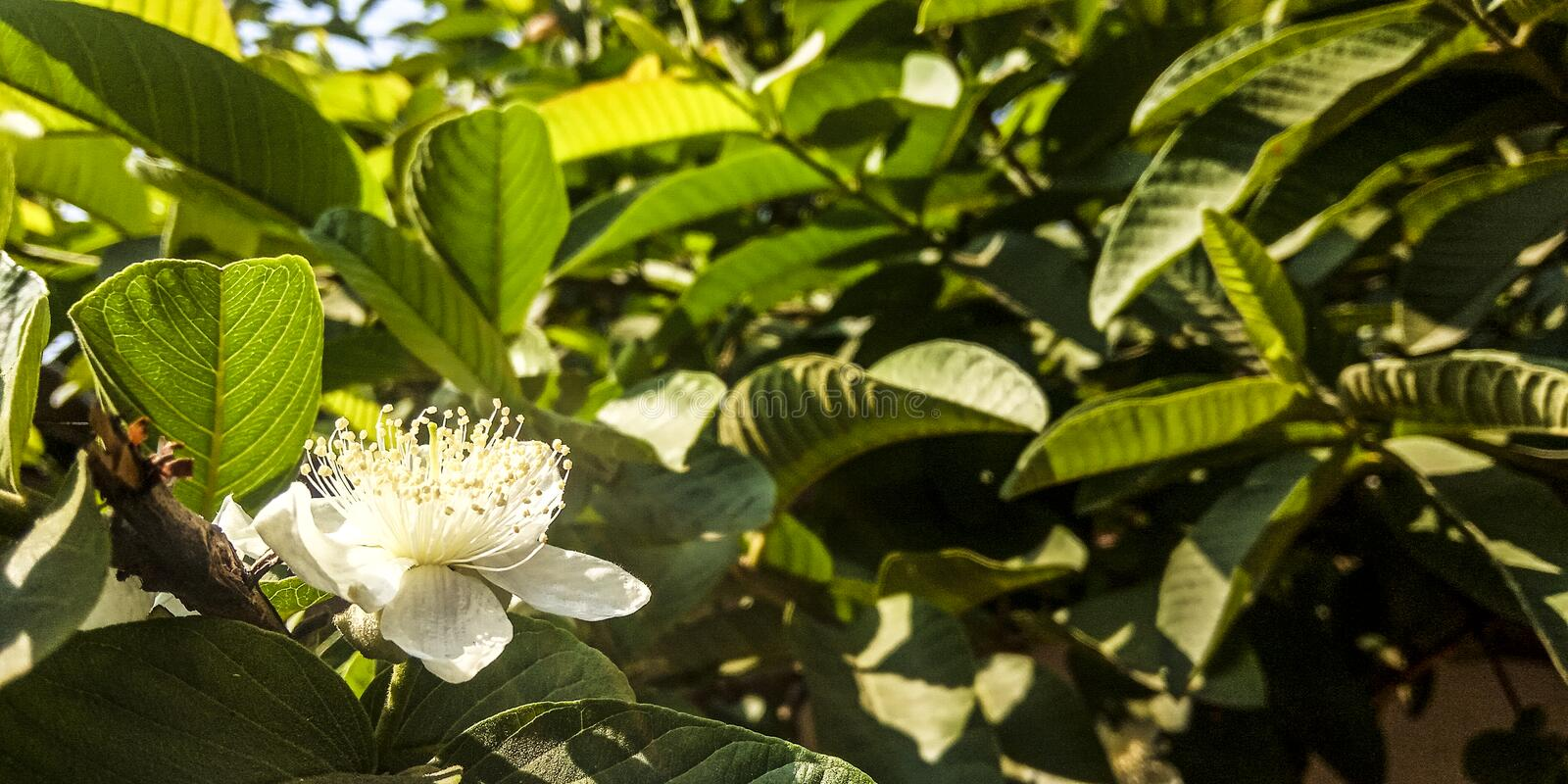 Guava plant flowers royalty free stock images