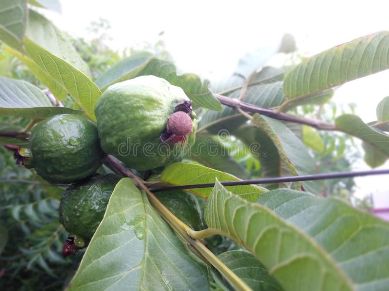 Guava Plant With An Spider on it stock image