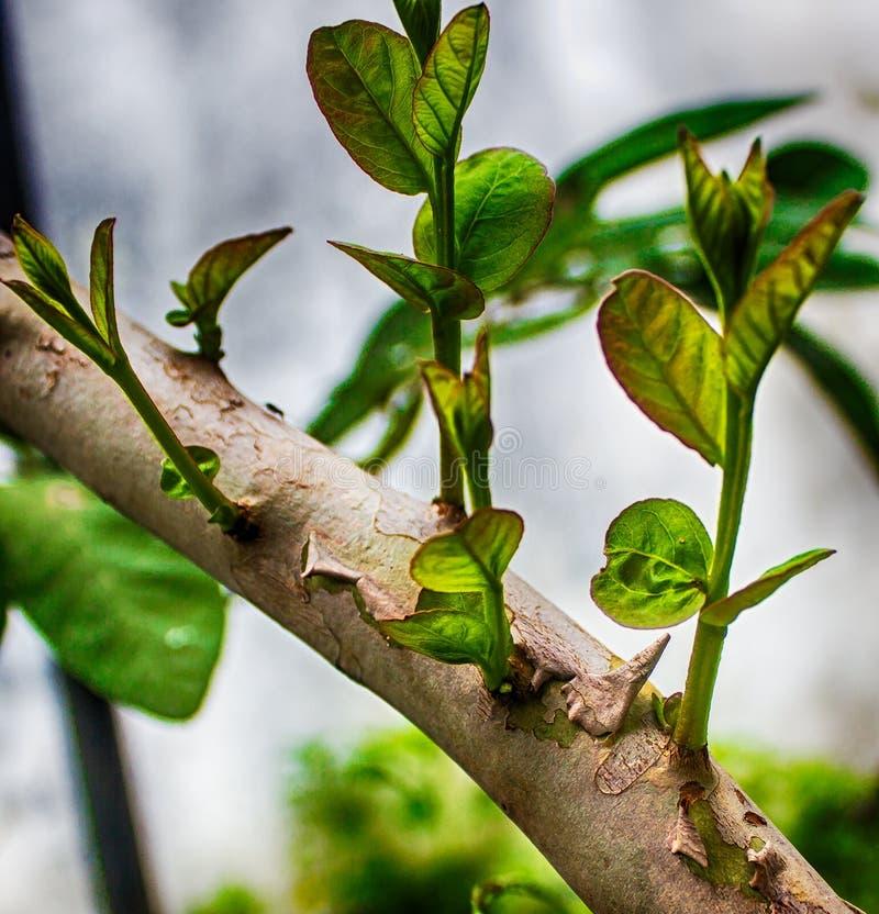 Guavaträdknoppar royaltyfri fotografi
