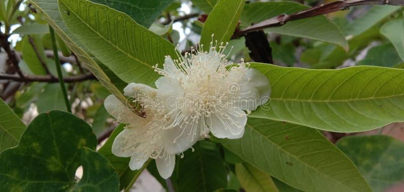 Guave friut bloem stock afbeeldingen